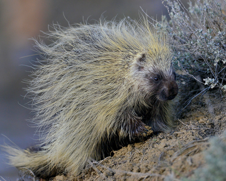 Porcupine, Northern, CO.