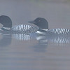 Common Loons, Salerno Lake, Canada.  Early morning mist.