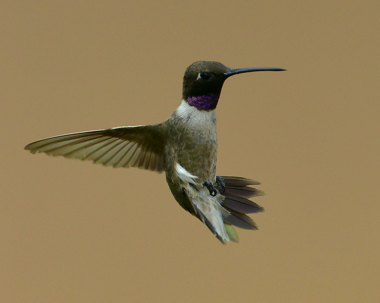 Black-chinned Hummingbird, male, Ash Canyon B&B, Hereford, AZ