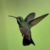 Broad-billed Hummingbird, immature male, Madera Canyon, AZ