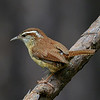 Carolina Wren, Chapel, NC