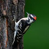 Downy Woodpecker, male, Chapel, NC