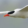 Caspian Tern, not a particularly good photo, but it shows detail of the beak that I hadn't noticed before.