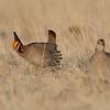 Lesser Prairie Chickens