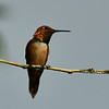 Rufous Hummingbird, male, Alpine, TX