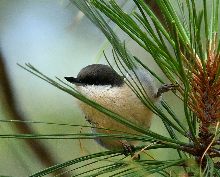 Pygmy Nuthatch, Mt. Lemmon, AZ