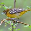 Baltimore Oriole, female, Rondeau Park, Canada.