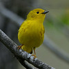 Yellow Warbler, female, Rondeau Park, Canada.