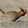 Greater Prairie Chicken, male, near Wray, Colorado.