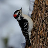 Downy Woodpecker, male,Northern Colorado.
