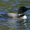 Common Loon, Salerno Lake, Canada.