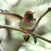 Anna's Hummingbird, male, Ash Canyon B&B, Hereford, AZ.  Lefty.