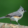 Tufted Titmouse, Chapel, NC