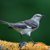 Northern Mockingbird, Chapel, NC