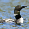 Common Loon, Salerno Lake, Canada