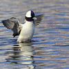 Bufflehead, male, near Collingwood, Canada