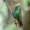 Broad-billed Hummingbird, male, Ash Canyon, AZ