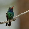 Broad-billed Hummingbird, male, Madera Canyon, AZ