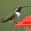 Hybrid Hummingbird, probably a Lucifer Hummingbird and Costa's Hummingbird, Ash Canyon B&B, Hereford, AZ
