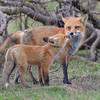 Red Fox mother and kit.