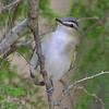 Red-eyed Vireo, Rondeau Park, Canada