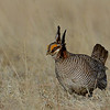Lesser Prairie Chicken, male, near Lamar Colorado