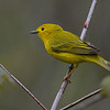 Yellow Warbler, female.