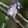 Blue Jay, Salerno Lake, Canada