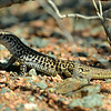 Rusty-rumped Whiptail Lizard, near Van Horn, Texas