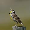 Western Meadowlark, male, Longmont Colorado.
