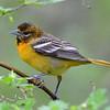 Baltimore Oriole, female, Rondeau Park, Canada