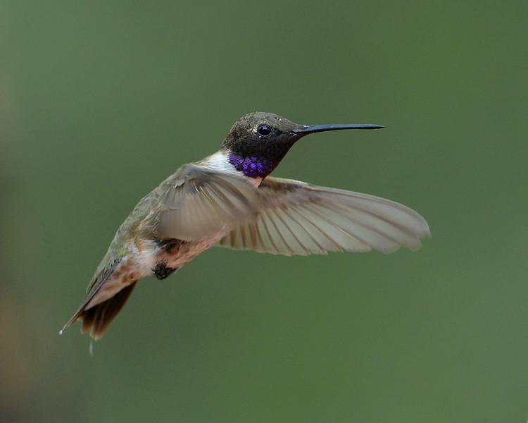 Black-chinned Hummingbird, male, Ash Canyon B&B, Hereford, AZ