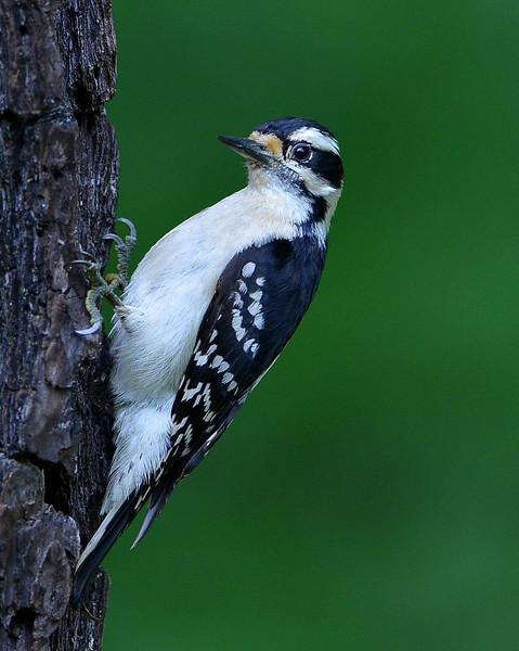 Downy Woodpecker, female, Chapel, NC