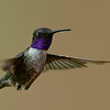 Hybrid Hummingbird, probably a Black-chinned Hummingbird and an Anna's Hummingbird, male, Ash Canyon B&B, Hereford, AZ