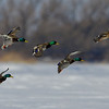 Mallards landing on the frozen lake. Near Barrie, Canada.