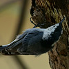 White-breasted Nuthatch, Madera Canyon, AZ