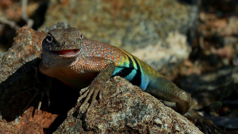 Greater Earless Lizard, near Van Horn, TX