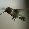 Anna's Hummingbird, male, Ash Canyon B&B, Hereford, AZ
