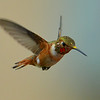 Rufous Hummingbird, immature male, Miller Canyon, AZ