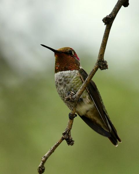 Anna's Hummingbird, male, Ash Canyon B&B, Hereford, AZ