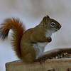 American Red Squirrel, near Toronto, Canada
