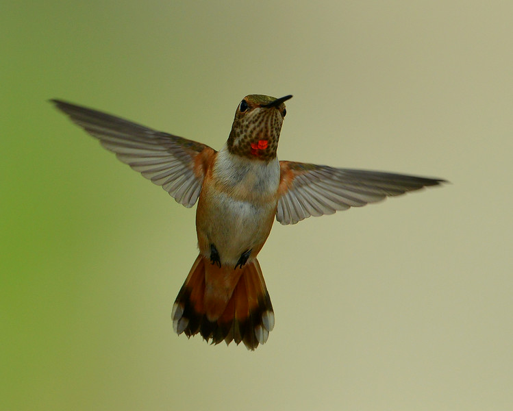 Rufous Hummingbird, immature male, Miller Canyon, AZ