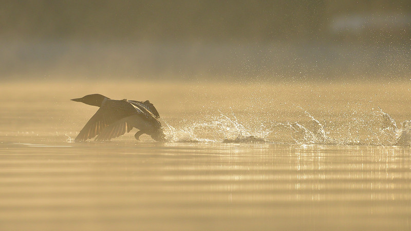 Common Loon, Salerno Lake, Canada.  Early morning mist.