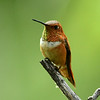 Rufous Hummingbird, male, Miller Canyon, AZ