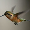 Lucifer Hummingbird, immature male, Ash Canyon B&B, Hereford, AZ