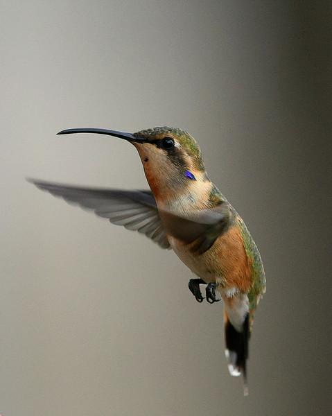 Lucifer Hummingbird, immature male, Ash Canyon B&B, Hereford, AZ