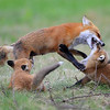 Red fox mother playing with kits.