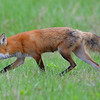 Red Fox mom.