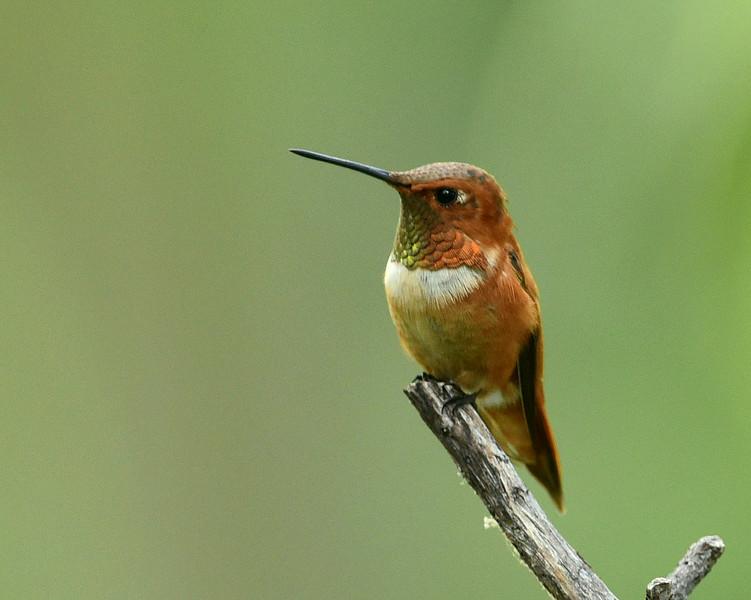 Rufous Hummingbird, male, Miller Canyon, AZ