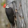 Pileated Woodpecker, female, Salerno Lake, Canada